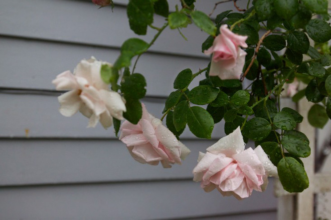 Kinh nghiệm tạo giàn hoa leo đẹp như trong mơ của cặp vợ chồng yêu hoa - Ảnh 3.