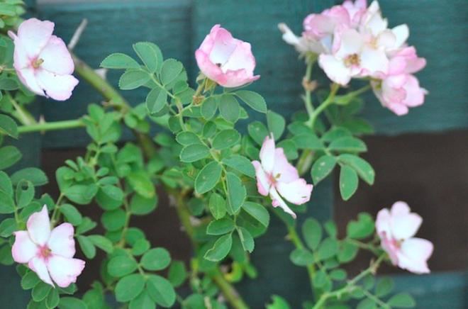 7 loài hoa hồng leo đẹp như những vũ công quyến rũ nên có mặt trong vườn của bạn - Ảnh 20.