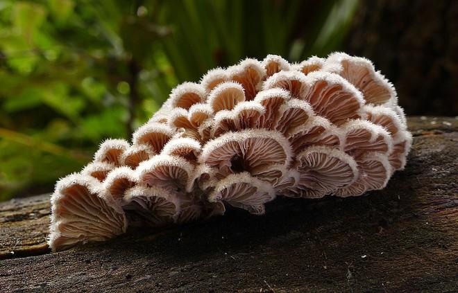 Loài nấm có tới hơn 23.000 giới tính, bạn sẽ phải giật mình về cách giao phối của chúng