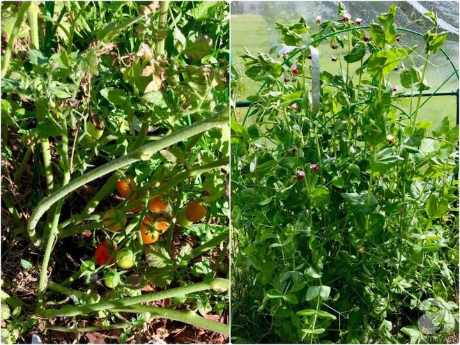 Khu vườn rộng gần 40 nghìn m² xanh tươi rau quả Việt của mẹ 3 con ở Canada - Ảnh 7.