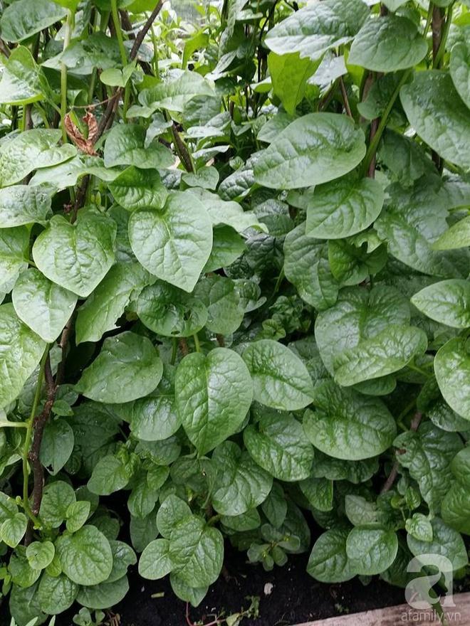 Ông bố quê xứ Thanh trồng cả vườn rau rộng thênh thang lên đến 3500m² với đủ mọi loại cây trái - Ảnh 12.