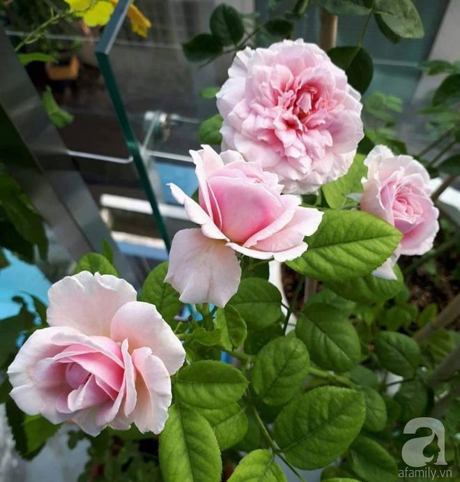 Khu vườn hoa hồng trên mây dịu dàng như một bài thơ của chàng họa sĩ trẻ ở TP. HCM - Ảnh 5.