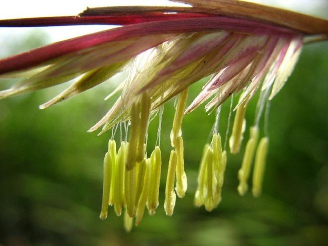 Khám phá bí ẩn hoa tre, loài hoa trăm năm mới nở một lần - Ảnh 4.