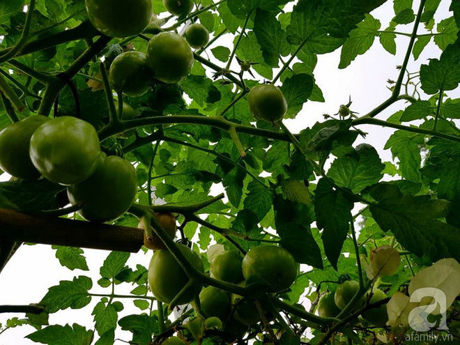 Mẹ đảm ở Hưng Yên biến sân thượng 40m² thành khu vườn xanh ngát, thu hoạch đến hàng chục cân rau củ sạch - Ảnh 4.