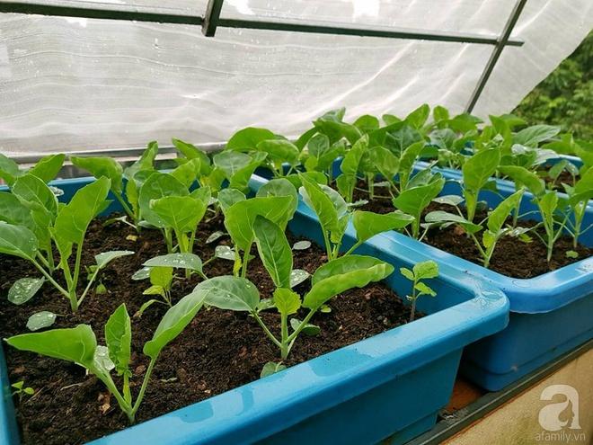 Mẹ đảm ở Hưng Yên biến sân thượng 40m² thành khu vườn xanh ngát, thu hoạch đến hàng chục cân rau củ sạch - Ảnh 24.