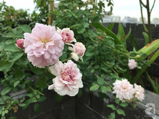 3 vườn hồng đẹp như mơ khiến độc giả tâm đắc tặng ngàn like trong năm 2017 - Ảnh 31.