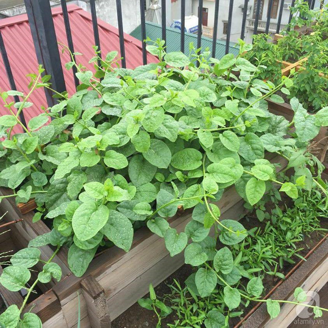 Trồng rau trong khung gỗ - giải pháp vừa có rau sạch để ăn lại vừa có khu vườn đẹp - Ảnh 7.
