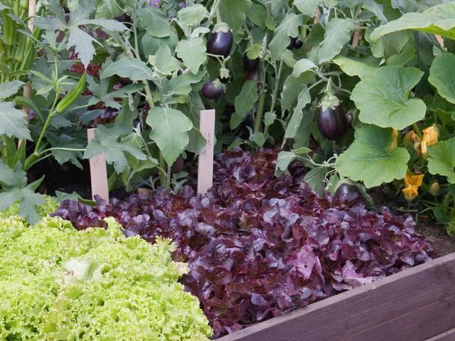 10 cách trồng rau quả đẹp như trồng hoa để vừa có rau ăn vừa làm đẹp khu vườn - Ảnh 7.