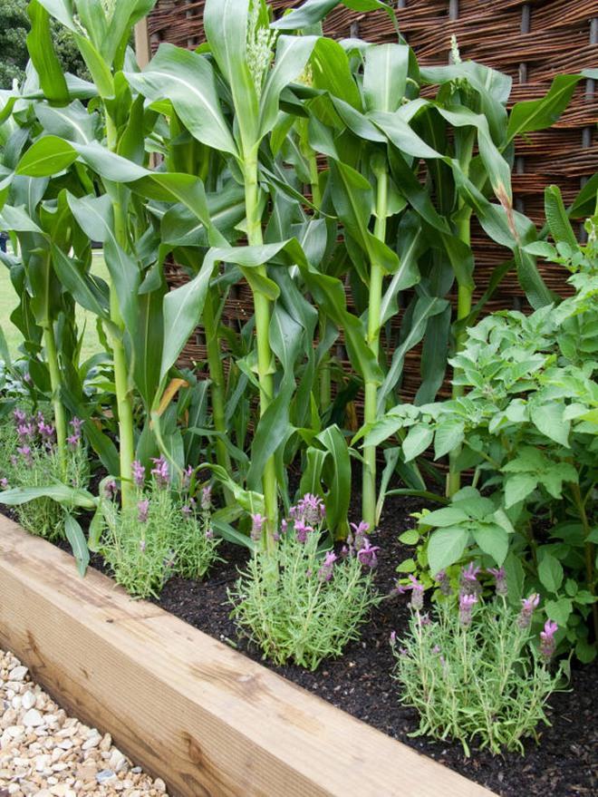 10 cách trồng rau quả đẹp như trồng hoa để vừa có rau ăn vừa làm đẹp khu vườn - Ảnh 8.