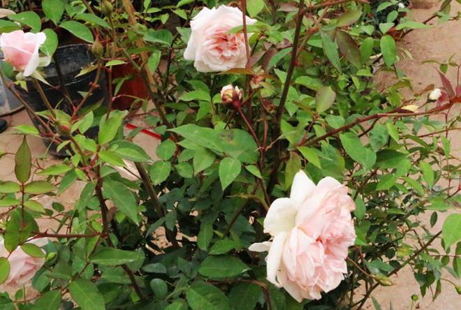 Chăm sóc hoa hồng đào cổ và kỹ thuật cắt tỉa giúp hoa nở rực rỡ đón Xuân sang  - Ảnh 1.