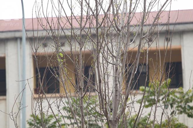 Chùm ảnh: Hàng trăm cây phong lá đỏ đã mọc lá, nảy chồi giữa Thủ đô - Ảnh 9.