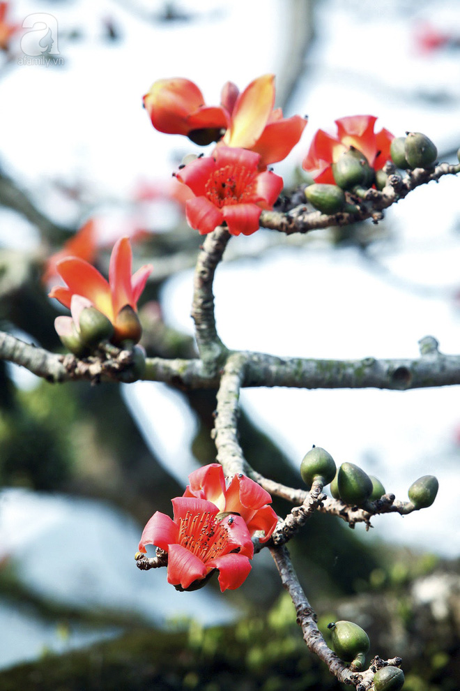 Tháng 3 về, hoa gạo thắp sáng núi rừng chùa Hương - Ảnh 11.