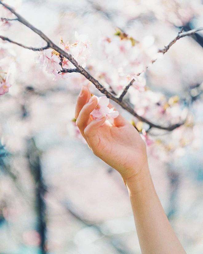 Ngẩn ngơ trước vẻ đẹp của hoa anh đào Nhật Bản trong mùa Hanami - Ảnh 7.