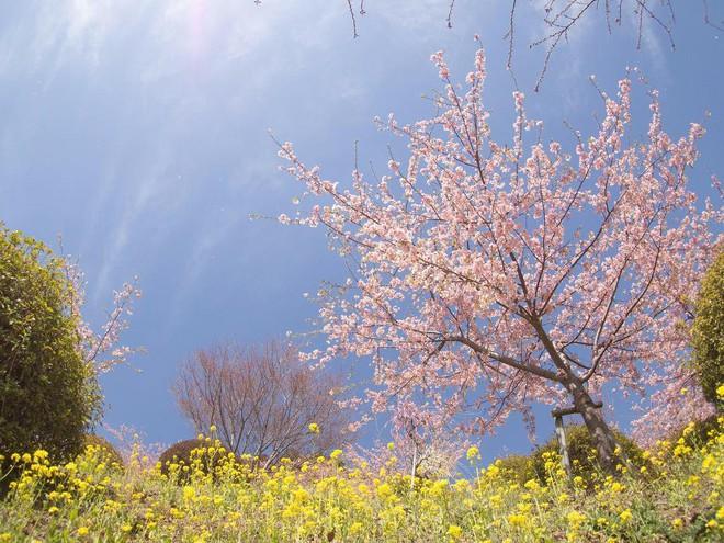 Ngẩn ngơ trước vẻ đẹp của hoa anh đào Nhật Bản trong mùa Hanami - Ảnh 5.
