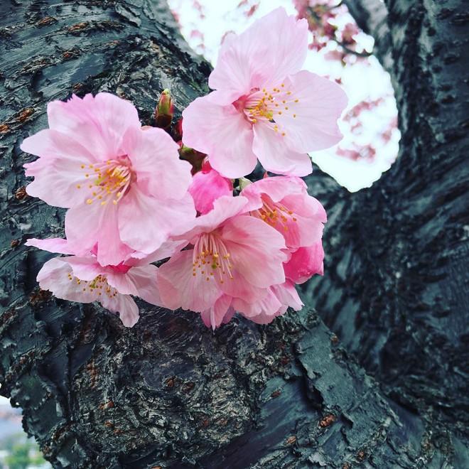 Ngẩn ngơ trước vẻ đẹp của hoa anh đào Nhật Bản trong mùa Hanami - Ảnh 8.