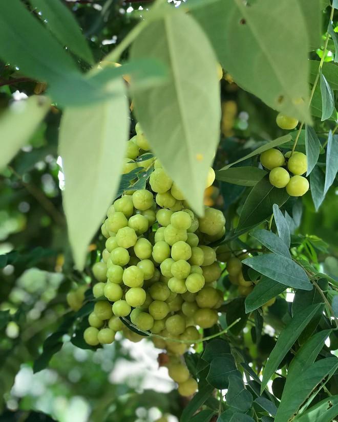 Những loại quả chua dân dã nhưng đã gieo tương tư cho biết bao thế hệ - Ảnh 11.