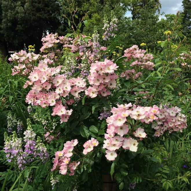 7 loài hoa hồng leo đẹp như những vũ công quyến rũ nên có mặt trong vườn của bạn - Ảnh 23.