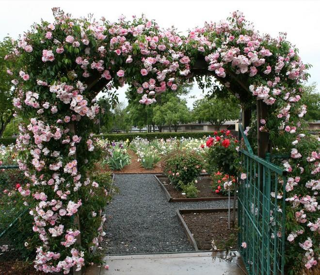 7 loài hoa hồng leo đẹp như những vũ công quyến rũ nên có mặt trong vườn của bạn - Ảnh 14.