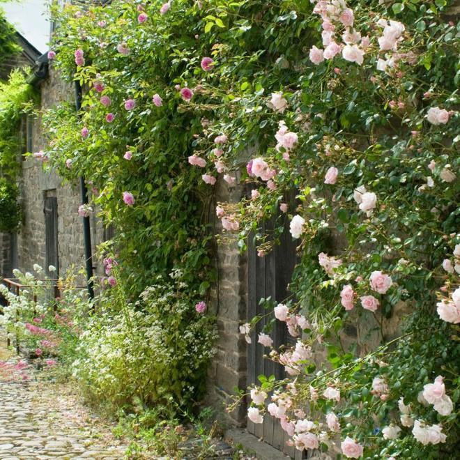 7 loài hoa hồng leo đẹp như những vũ công quyến rũ nên có mặt trong vườn của bạn - Ảnh 9.