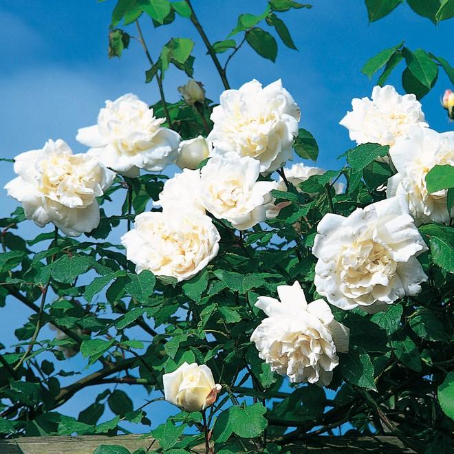 7 loài hoa hồng leo đẹp như những vũ công quyến rũ nên có mặt trong vườn của bạn - Ảnh 7.