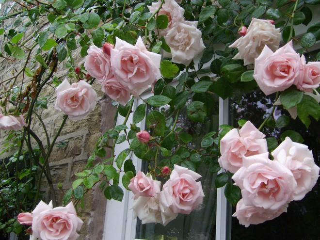7 loài hoa hồng leo đẹp như những vũ công quyến rũ nên có mặt trong vườn của bạn - Ảnh 8.