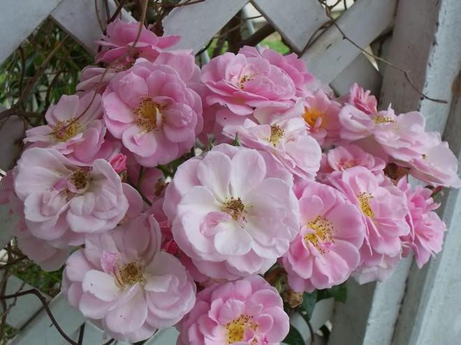 7 loài hoa hồng leo đẹp như những vũ công quyến rũ nên có mặt trong vườn của bạn - Ảnh 11.