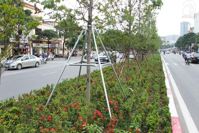 Hà Nội: Hàng cây Phong lá đỏ được thay thế trụ chống chắc chắn trước mùa mưa bão - Ảnh 6.