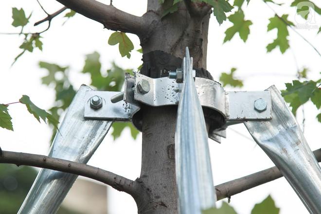 Hà Nội: Hàng cây Phong lá đỏ được thay thế trụ chống chắc chắn trước mùa mưa bão - Ảnh 4.