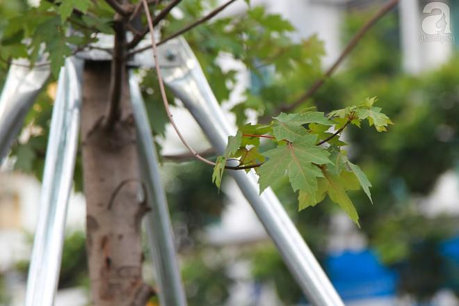 Hà Nội: Hàng cây Phong lá đỏ được thay thế trụ chống chắc chắn trước mùa mưa bão - Ảnh 3.