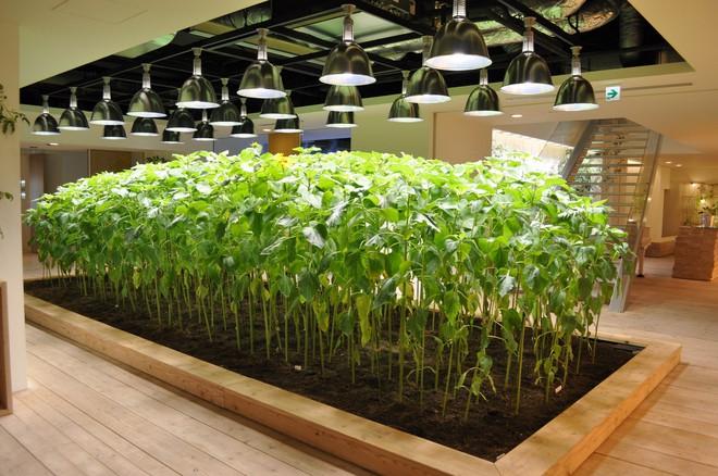 Công ty cho nhân viên trồng lúa trong văn phòng, cuối vụ đưa cả con đến gặt cho vui - Ảnh 16.