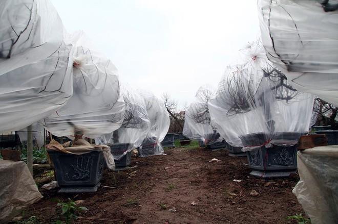 Hà Nội: Người dân lắp điều hòa, bật quạt sưởi, bọc nilon chống rét cho đào Tết - Ảnh 6.