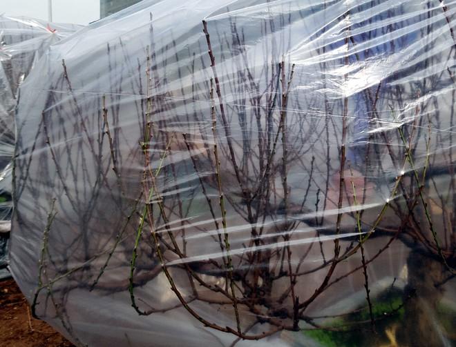 Hà Nội: Người dân lắp điều hòa, bật quạt sưởi, bọc nilon chống rét cho đào Tết - Ảnh 11.