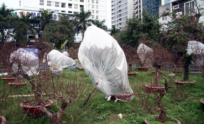 Hà Nội: Người dân lắp điều hòa, bật quạt sưởi, bọc nilon chống rét cho đào Tết - Ảnh 7.