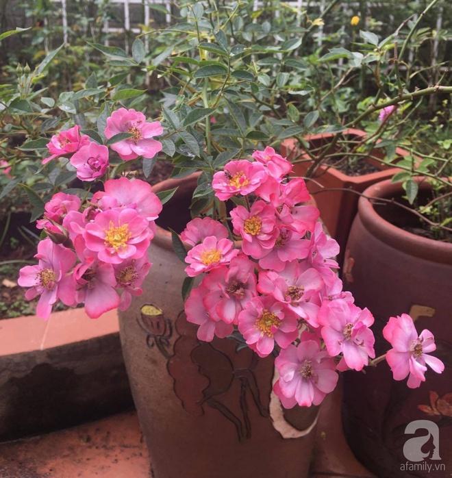 Mùng 1 Tết ghé thăm khu vườn hồng rực rỡ trồng trong chum vại độc đáo ở miền Trung - Ảnh 9.