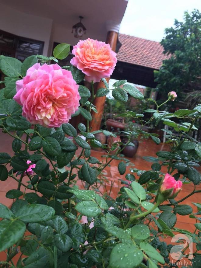 Mùng 1 Tết ghé thăm khu vườn hồng rực rỡ trồng trong chum vại độc đáo ở miền Trung - Ảnh 13.
