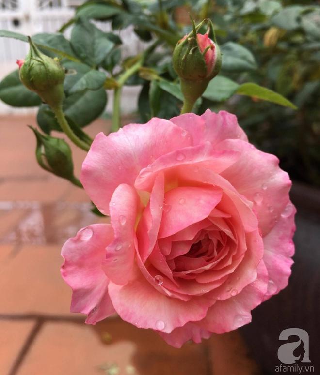 Mùng 1 Tết ghé thăm khu vườn hồng rực rỡ trồng trong chum vại độc đáo ở miền Trung - Ảnh 20.