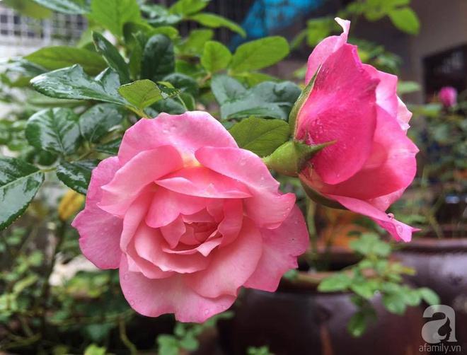 Mùng 1 Tết ghé thăm khu vườn hồng rực rỡ trồng trong chum vại độc đáo ở miền Trung - Ảnh 23.