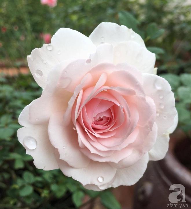 Mùng 1 Tết ghé thăm khu vườn hồng rực rỡ trồng trong chum vại độc đáo ở miền Trung - Ảnh 25.