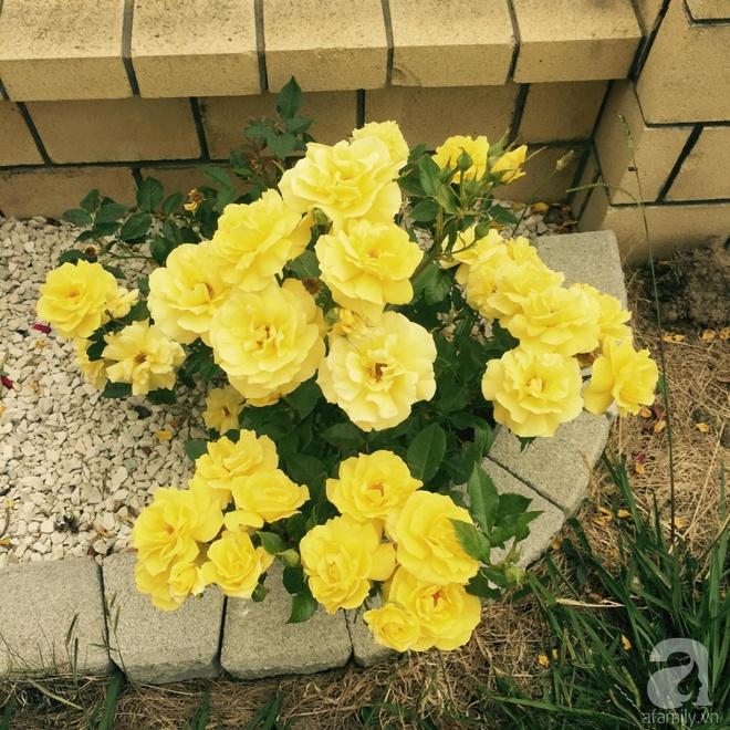 Chỉ mất 2 năm, bà mẹ trẻ đã phủ kín khu vườn rộng tới 200m² với hàng trăm loài hoa rực rỡ muôn màu - Ảnh 14.