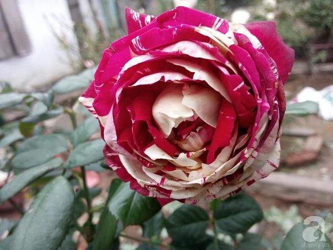 Ngôi nhà hoa hồng đẹp như thơ ở Hưng Yên của ông bố đơn thân quyết phá sân bê tông để thực hiện ước mơ   - Ảnh 8.