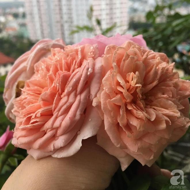 Ngắm ban công chỉ vỏn vẹn 2,2m² nhưng có tới hơn 20 chậu hồng thơm ngát ở Sài Gòn - Ảnh 10.
