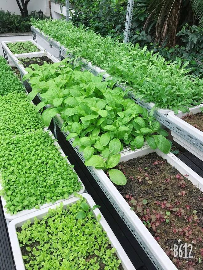 Vườn rau sạch được trồng trên sân thượng biệt thự tiền tỷ của Nữ hoàng sắc đẹp Toàn cầu Ngọc Duyên - Ảnh 4.