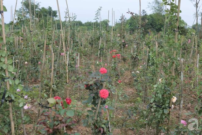 Ngôi nhà yên bình bên vườn hoa hồng với 3000 gốc hoa hồng ngoại của cô giáo ở Nam Định - Ảnh 7.