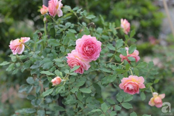 Ngôi nhà yên bình bên vườn hoa hồng với 3000 gốc hoa hồng ngoại của cô giáo ở Nam Định - Ảnh 8.