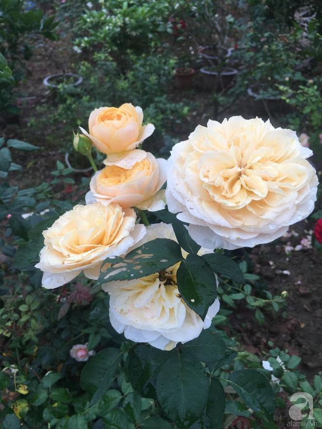 Ngôi nhà yên bình bên vườn hoa hồng với 3000 gốc hoa hồng ngoại của cô giáo ở Nam Định - Ảnh 10.