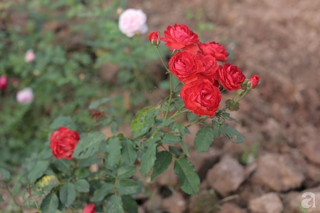 Ngôi nhà yên bình bên vườn hoa hồng với 3000 gốc hoa hồng ngoại của cô giáo ở Nam Định - Ảnh 12.