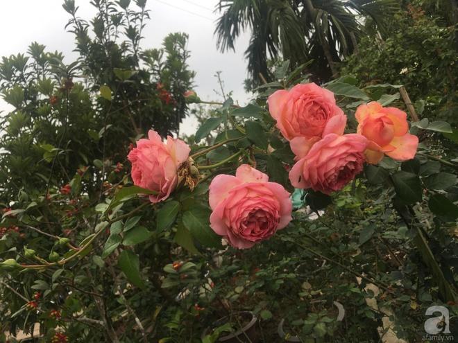 Ngôi nhà yên bình bên vườn hoa hồng với 3000 gốc hoa hồng ngoại của cô giáo ở Nam Định - Ảnh 13.