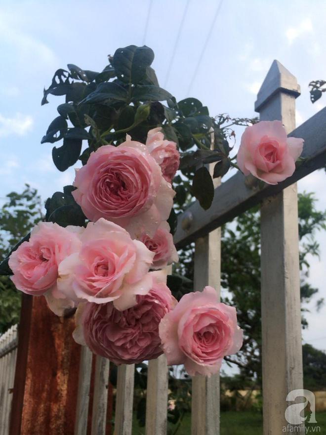 Ngôi nhà yên bình bên vườn hoa hồng với 3000 gốc hoa hồng ngoại của cô giáo ở Nam Định - Ảnh 14.