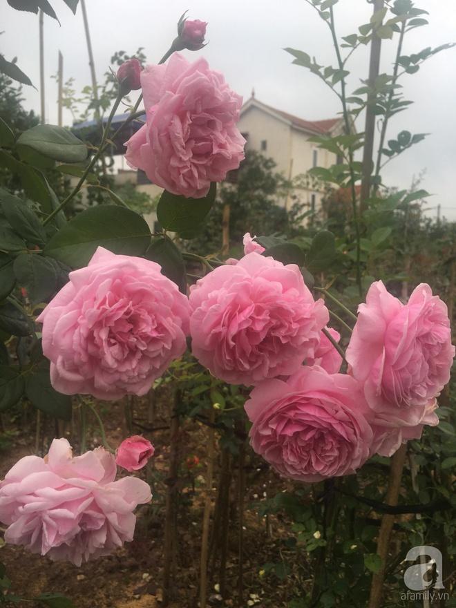 Ngôi nhà yên bình bên vườn hoa hồng với 3000 gốc hoa hồng ngoại của cô giáo ở Nam Định - Ảnh 16.