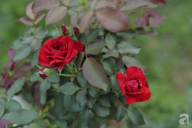 Ngôi nhà yên bình bên vườn hoa hồng với 3000 gốc hoa hồng ngoại của cô giáo ở Nam Định - Ảnh 18.
